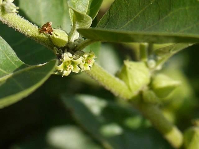 Ashwagandha cultivation in India Hindi