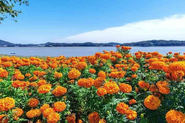 marogold Flower Farming Se Paise Kaise Kamaye